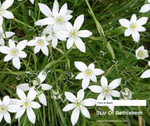 Star of Bethlehem Erboristeria siciliana, la tua erboristeria online