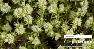 gravidanza fiori di bach Erboristeria siciliana, la tua erboristeria online