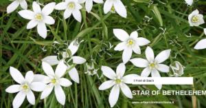 Star of behtlem Erboristeria siciliana, la tua erboristeria online