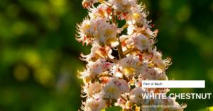White chestnut Erboristeria siciliana, la tua erboristeria online