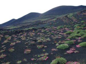 fiori dell'etna - saponaria sicula Erboristeria siciliana, la tua erboristeria online